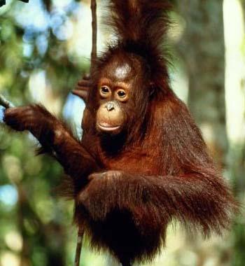 В переводе с местного языка, орангутанов на Борнео называют Лесными людьми